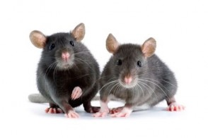 Why Science Needs Female Mice