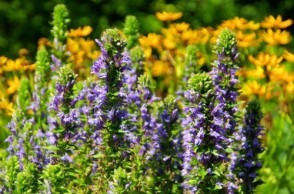 Ask Dr. Mike: Can Bugleweed Cure Your Hyperthyroidism & Is Soy Bad for Your Thyroid?