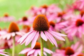 Echinacea to Treat Anxiety?