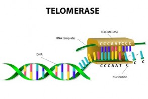 Future of Telomerase Medicine