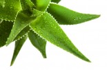 The Many Uses of Aloe Vera