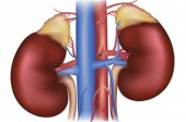 Adrenal Glands: Masters of Your Body