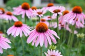 Echinacea to Fight the Flu